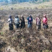 Frost-affected sweet potato crop, Tambul, WHP (photo by Kud Sitango,NARI)